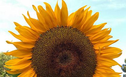 large-sunflower-against-blue-sky